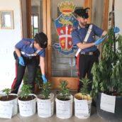 Baselice, coltiva piante di marijuana. Denunciato dai Carabinieri