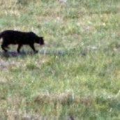 Roccabascerana, avvistamento di un grosso felino