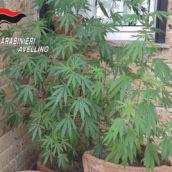 Piantagione di marijuana sul balcone di casa: denunciata 56enne