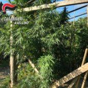 Grottaminarda, i Carabinieri arrestano un 73enne per coltivazione e produzione di sostanze stupefacenti.