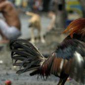 Poliziotto ucciso da un gallo da combattimento con un colpo alla gamba