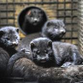 Danimarca: i visoni trasmettono il Covid mutato, verranno abbattuti 17 milioni di esemplari