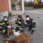 Avellino, curioso intervento dei caschi rossi: recuperati ovini sul balcone dell'ex ospedale Maffucci