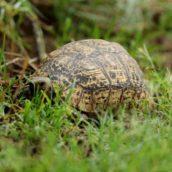 Mangiano carne di tartaruga: 19 persone morte