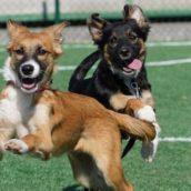In campo, insieme ai giocatori del Lentigione Calcio, due cagnoline in cerca di famiglia